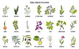 Les meilleures herbes médicinales pour la douleur aux oreilles illustration stock