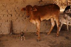 Les meilleurs amis de village : chiot et jeune vache Image libre de droits
