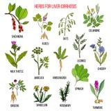 Les meilleurs remèdes de fines herbes pour le cirrosis de foie Photographie stock libre de droits