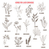 Les meilleurs remèdes de fines herbes pour le cirrosis de foie Photo stock