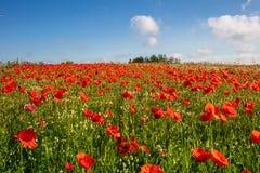 les milliers de pavots rouges se tenant sur un pré, le soleil brille et il y a les nuages blancs dans le ciel bleu images libres de droits