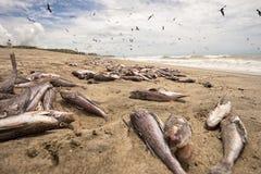 Les milliers de poissons morts ont lavé sur la plage images libres de droits