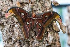 Les mites d'atlas d'Attacus sont l'un des plus grands lepidopterans au monde photographie stock libre de droits