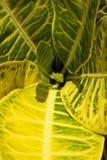 Les modèles vert clair et jaunes sur une spirale de croton part Photo libre de droits