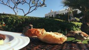 Les moineaux mignons volent la nourriture de la table Oiseaux picotant un petit pain d'hamburger d'un plat banque de vidéos