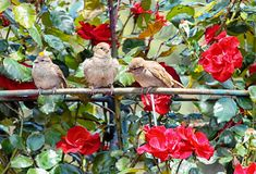 Les moineaux parmi des fleurs de se sont levés Images stock
