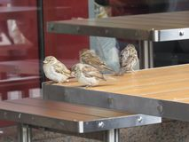 Les moineaux se reposent sur les tables noires vides dans un café de rue image libre de droits