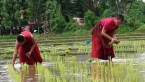 Les moines cultivent le riz avec des agriculteurs Photo libre de droits