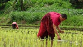 Les moines cultivent le riz avec des agriculteurs Photographie stock