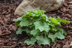 Les mollis d'alchemille plantent l'élevage dans le jardin sur le sol paillé Photographie stock libre de droits
