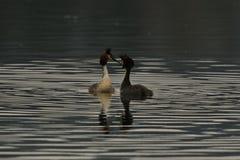 Les moniteurs de mâles de cristatus de Podiceps et intimide sur son lac Photos stock