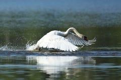 Les moniteurs masculins de cygne et intimide sur son lac Images libres de droits