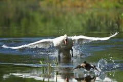 Les moniteurs masculins de cygne et intimide sur son lac Images stock