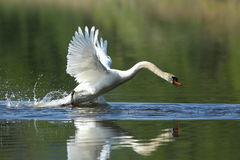 Les moniteurs masculins de cygne et intimide sur son lac Photographie stock libre de droits