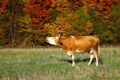 Les moos simples de vache s'approchent de la forêt automnale de colorfull Photo stock