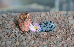 Les morceaux polis de jaspe et d'obsidien rouges avec Lithops fleurissent image libre de droits