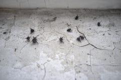 Les morts nombreux ont séché des mouches sur un filon-couche sale de fenêtre avec s'exfolier la peinture, en hiver en retard, dan photo stock