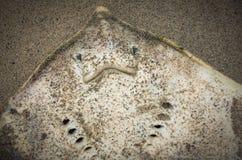 Les morts ont lavé vers le haut de la pastenague en sable Photos stock