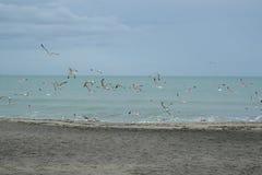 Les mouettes d'harengs sur la plage de la ville de Burgas, Bulgarie peuvent 2016 Photos stock