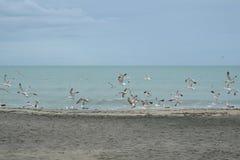 Les mouettes d'harengs sur la plage de la ville de Burgas, Bulgarie peuvent 2016 Photo stock