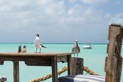 Les mouettes dans Aruba sont prêtes pour le déjeuner photo libre de droits