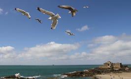 Les mouettes dans le vol en formation avec l'île de petit soient à l'arrière-plan Image stock