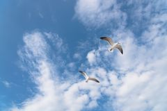Les mouettes de groupe volent sur le ciel bleu de nuage Photographie stock libre de droits