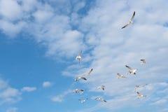 Les mouettes de groupe volent sur le ciel bleu de nuage Images libres de droits