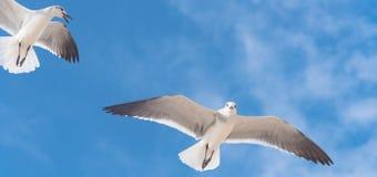 Les mouettes de groupe volent sur le ciel bleu de nuage Images stock