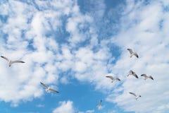 Les mouettes de groupe volent sur le ciel bleu de nuage Photographie stock