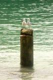 Les mouettes de mer se reposent sur un tronçon d'arbre, Nouvelle-Calédonie Photographie stock