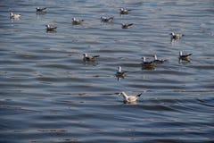 Les mouettes nagent calmement sur la surface de mer Photos libres de droits