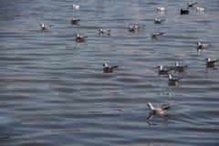 Les mouettes nagent calmement sur la surface de mer Image libre de droits
