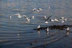 Les mouettes nagent calmement sur la surface de mer Photo stock