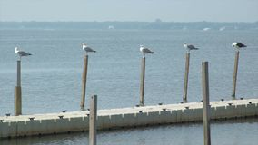 Les mouettes pearched sur un dock à la plage de Ho Hum sur l'île du feu banque de vidéos