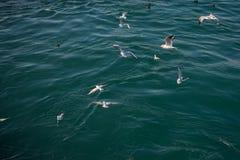 Les mouettes sont sur et au-dessus des eaux de mer Photo stock