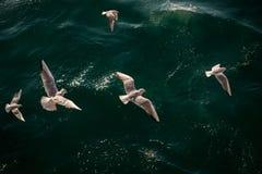 Les mouettes sont sur et au-dessus des eaux de mer Photos stock