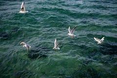 Les mouettes sont sur et au-dessus des eaux de mer Image stock