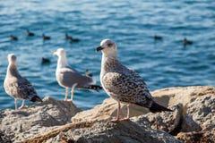 Les mouettes sont sur la roche par des eaux de mer Image stock