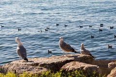 Les mouettes sont sur la roche par des eaux de mer Photographie stock