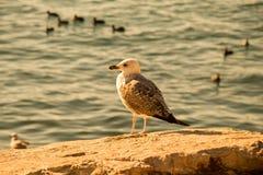 Les mouettes sont sur la roche par des eaux de mer Images stock