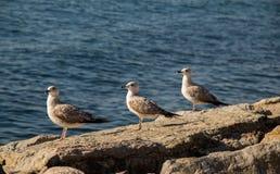 Les mouettes sont sur la roche par des eaux de mer Photos stock