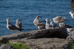 Les mouettes sont sur la roche par des eaux de mer Images libres de droits