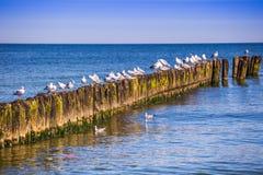 Les mouettes sur des brise-lames dans le ressac sur la Pologne Baltique marchent Photos stock