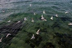 Les mouettes volent au-dessus des eaux de mer Image libre de droits