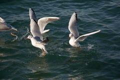 Les mouettes volent au-dessus des eaux de mer Photo libre de droits