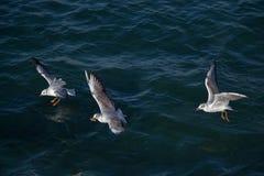 Les mouettes volent au-dessus des eaux de mer Photo stock
