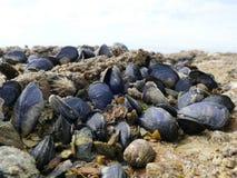 Les moules et les bernaches se ferment sur des roches de plage à marée basse photos libres de droits