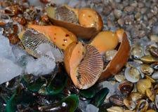 Les moules, les coques, le koskle d'émail Vénus, de sang, les escargots de mer géants et d'autres mollusques ont refroidi avec de Photographie stock libre de droits
