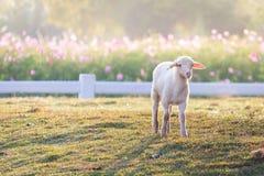 Les moutons à une ferme Image stock